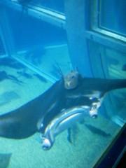 佐藤未帆 (しながわてれび出演ブログ) 公式ブログ/海遊館 マンタ の秘密 画像1