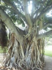佐藤未帆 (しながわてれび出演ブログ) 公式ブログ/ハワイ 神秘的な木々 画像2