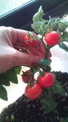 落合真理 公式ブログ/トマト収穫! 画像1