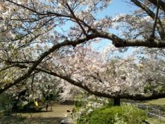 川上麻衣子 公式ブログ/桜 画像1