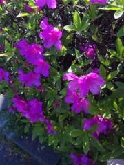 岩村さちこ 公式ブログ/ツツジは薄いピンクがスキ 画像1