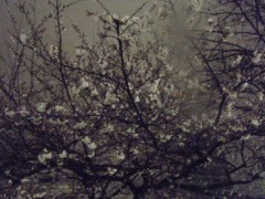 野呂陽菜 公式ブログ/夜桜 画像1