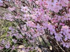 SORGENTI 公式ブログ/桜 春 画像1