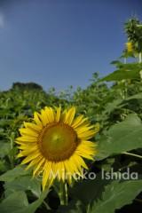 石田美菜子 公式ブログ/意外なヒマワリの真実 画像1