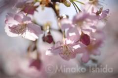 石田美菜子 公式ブログ/花見が楽しみ! 画像1