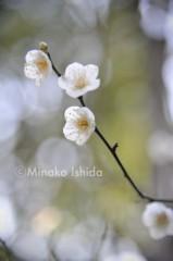 石田美菜子 公式ブログ/梅の便りが恋しいです(*^^*) 画像1