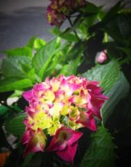 石田美菜子 公式ブログ/紫陽花 画像1