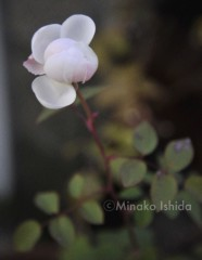 石田美菜子 公式ブログ/凍えるバラ 画像1
