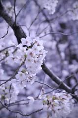 石田美菜子 公式ブログ/本日の目黒川 画像2