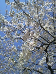 あらいすみれ 公式ブログ/桜前線 画像1