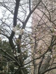 あらいすみれ 公式ブログ/一緒に桜を 画像1