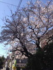 吉祥丸 公式ブログ/桜! 画像3