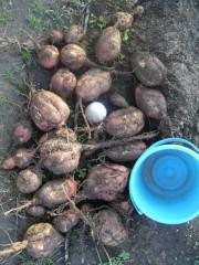 中村純子 プライベート画像/里芋(赤目大吉)収穫! 安納芋とボールとバケツ