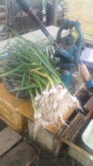 中村純子 公式ブログ/ニンニク大収穫!雨の畑慕情 画像1