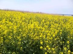 中村純子 公式ブログ/菜の花〜畑に〜♪ 菜の花の匂いって獣臭・・・!? 画像1