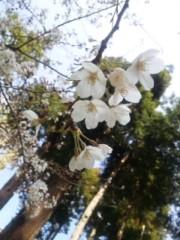 中村純子 公式ブログ/鎌倉桜1…ちょっと咲いてた( ~っ~)/ 画像1