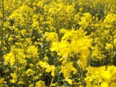 中村純子 公式ブログ/菜の花〜畑に〜♪ 菜の花の匂いって獣臭・・・!? 画像2