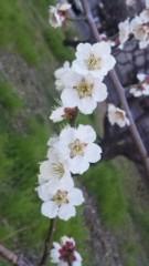 中村純子 公式ブログ/やっと春(;∇;)梅と枝垂れ桜 画像1