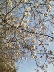 中村純子 公式ブログ/鎌倉桜1…ちょっと咲いてた( ~っ~)/ 画像2