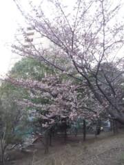 岡田はるこ 公式ブログ/寒桜…☆ 画像1