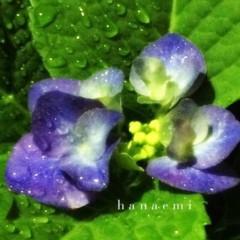 丸山圭子 公式ブログ/紫陽花の季節ですね。 画像1
