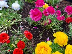 丸山圭子 公式ブログ/可憐な花達のように… 画像1
