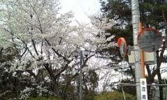 碧みさき(JK21) 公式ブログ/桜。 画像1