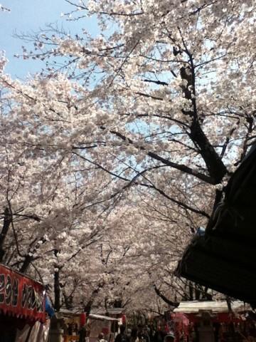 桜咲いたら