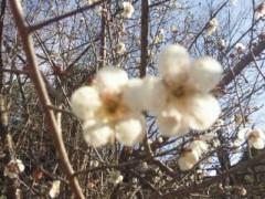 遠野実歌 公式ブログ/梅の花… 画像2
