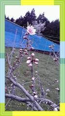 東ちづる 公式ブログ/知ってますか?ネクタリンの花! 画像1