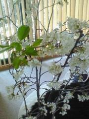 東ちづる 公式ブログ/桜と葉とアロマ 画像1