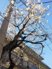 甲本ゆき(アズライト) 公式ブログ/桜!! 画像1