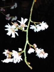 かおる 公式ブログ/桜!? 画像1