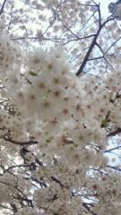 沢田美香 公式ブログ/桜満開 画像1