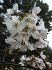 沢田美香 公式ブログ/桜で…癒されよう! 画像1
