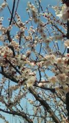 沢田美香 公式ブログ/桜〜咲く 画像2
