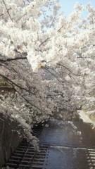 沢田美香 公式ブログ/桜満開 画像2
