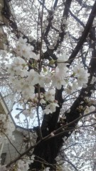 沢田美香 公式ブログ/せっかくの桜が( __;) 画像1