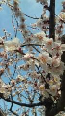 沢田美香 公式ブログ/桜〜咲く 画像1
