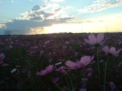 オトナモード 公式ブログ/コスモス 画像1