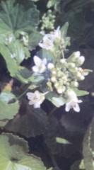 假屋崎省吾 公式ブログ/ワサビの花 画像1