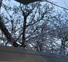 是永尚芳(ガンリキ) 公式ブログ/桜! 画像1