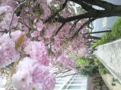 大橋央旺(タンバリン) 公式ブログ/八重桜 画像1
