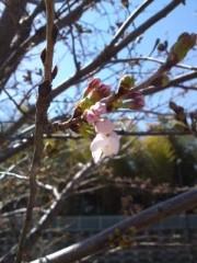かとうれい子 公式ブログ/桜さん 画像1