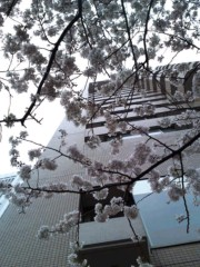 かとうれい子 公式ブログ/桜 画像1