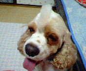 ながせみほ 公式ブログ/アメリカンコッカースパニエル 画像2