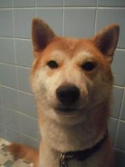 ながせみほ 公式ブログ/アルパカ風柴犬 画像1