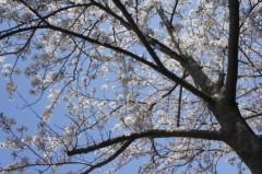 川島けん 公式ブログ/一斉に咲いたか! 桜 画像1
