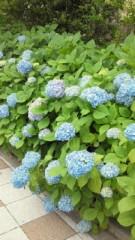 多辺田智里 公式ブログ/紫陽花 画像1