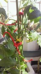 倉岡生夏 公式ブログ/トマトの花がさいた( 笑) 画像3